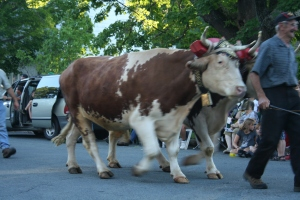 Lueneburg County oxen